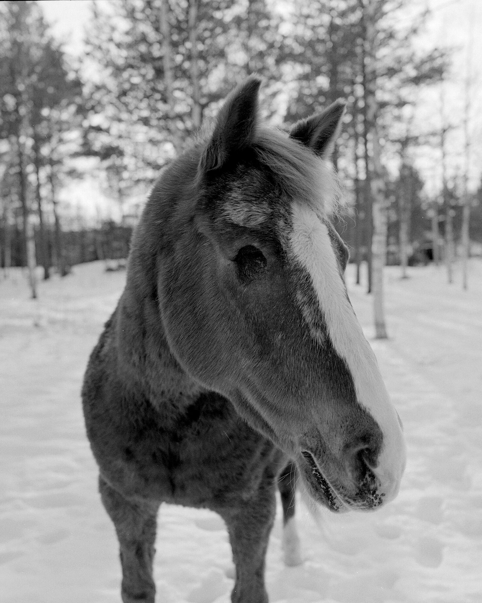 enögd_häst